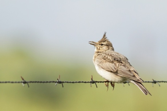 Crested lark, 21 April 2016