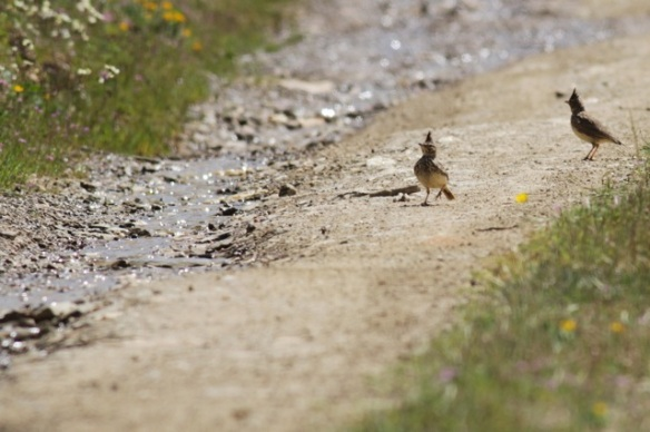 Crested larks, 18 April 2016