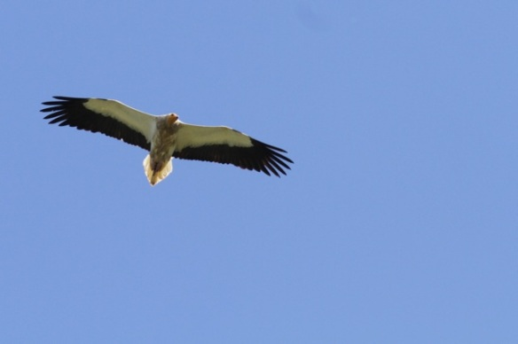 Egyptian vulture, on 18 April 2016