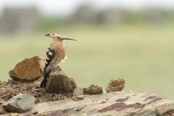 Hoopoe, 21 April 2016