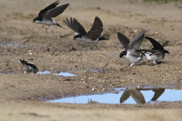 House martins, 22 April 2016