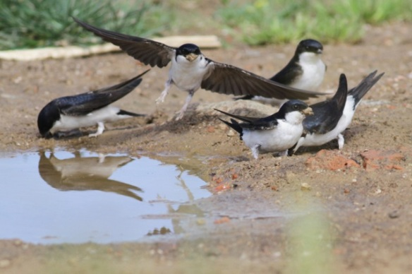 House martins, Jaraicejo, 22 April 2016