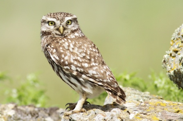 Little owl female, 21 April 2016