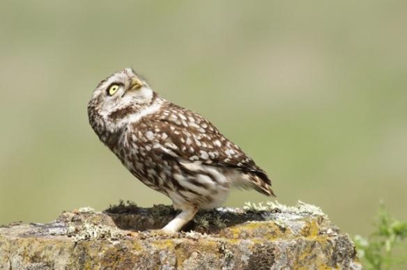 Little owl female looks at sky, 21 April 2016