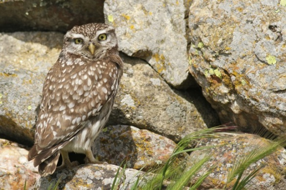 Little owl female on wall, 21 April 2016