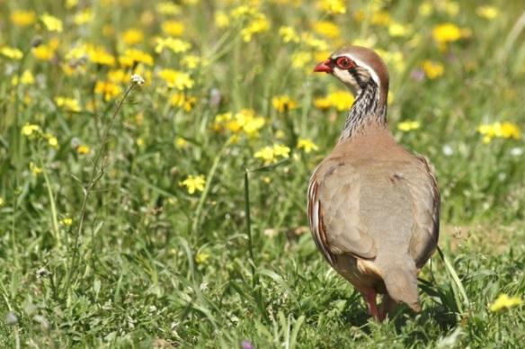Red-legged partridge, 21 April 2016