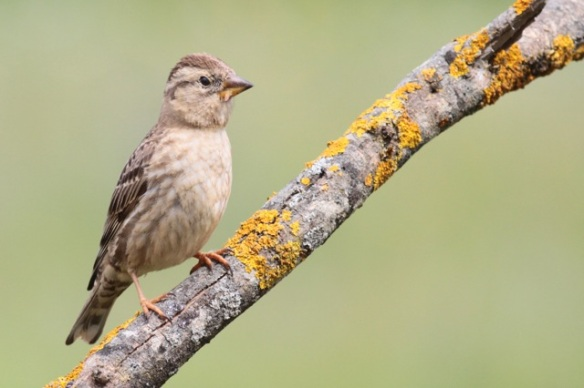 Rock sparrow, 23 April 2016