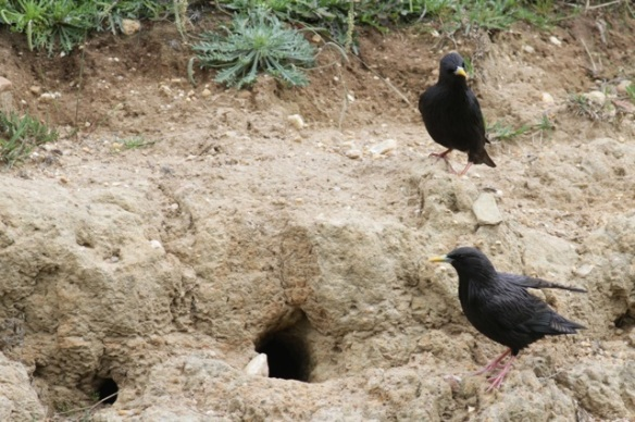 Spotless starlings, 23 April 2016