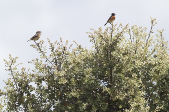 Stonechat female and male, 22 April 2016