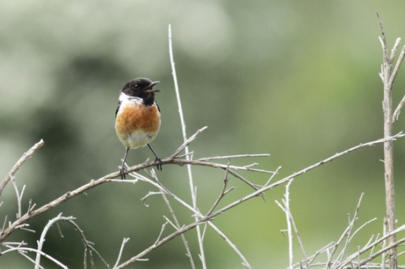 Stonechat male singing, 18 April 2015