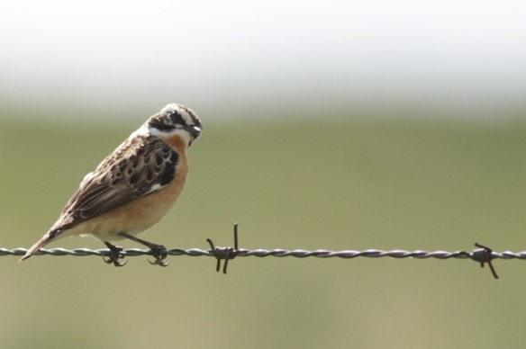 Whinchat, 21 April 2016