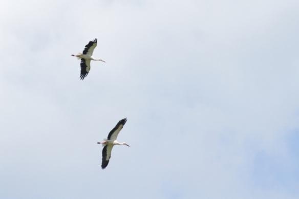 White storks, 17 April 2016