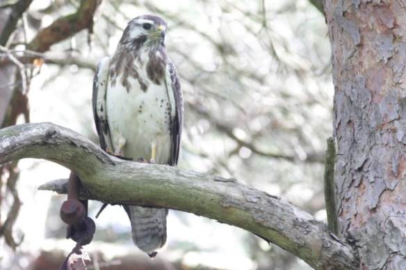 Buzzard, 10 June 2016