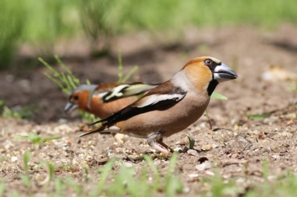 Chaffinch and hawfinch, 10 June 2016