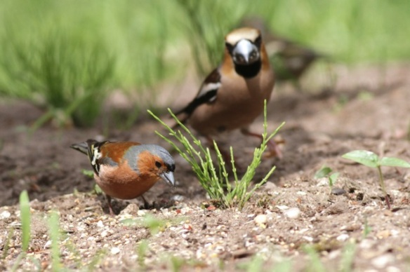 Chaffinch and hawfinch, on 10 June 2016