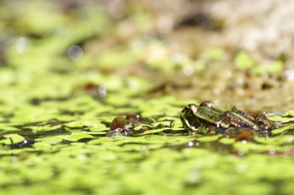 Edible frogs in pond, 10 June 2016