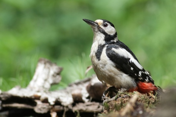 Female great spotted woodpecker, on 10 June 2016