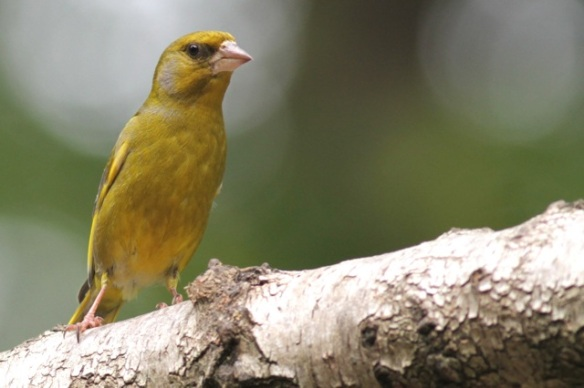 Greenfinch male, on 10 June 2016