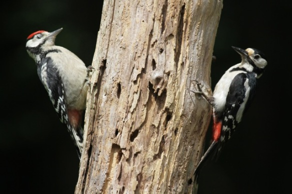 Juvenile and adult female great spotted woodpecker, 10 June 2016