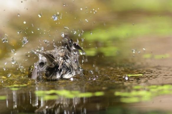 Marsh tit bathing, 10 June 2016