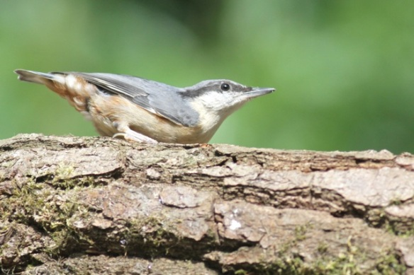 Nuthatch, 10 June 2016