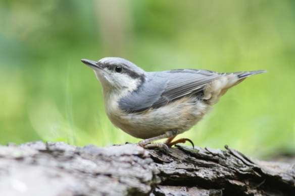 Nuthatch, afternoon 10 June 2016