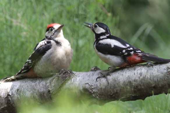 Young great spotted woodpecker and its mother, 10 June 2016