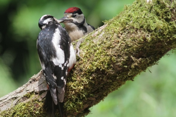 Young great spotted woodpecker being fed by its mother, 10 June 2016