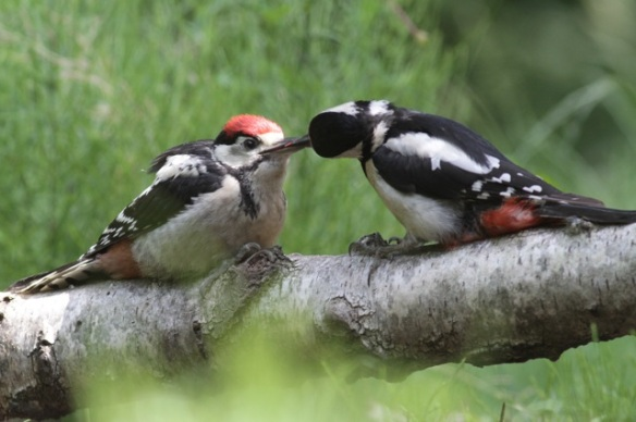 Young great spotted woodpecker fed by its mother, 10 June 2016