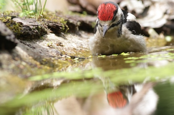 Young great spotted woodpecker bathing, 10 June 2016