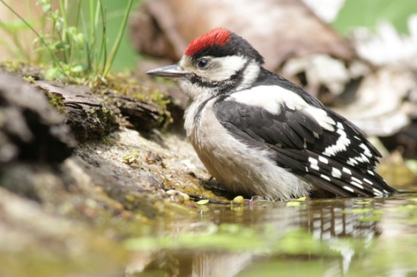 Young great spotted woodpecker bathing, on 10 June 2016