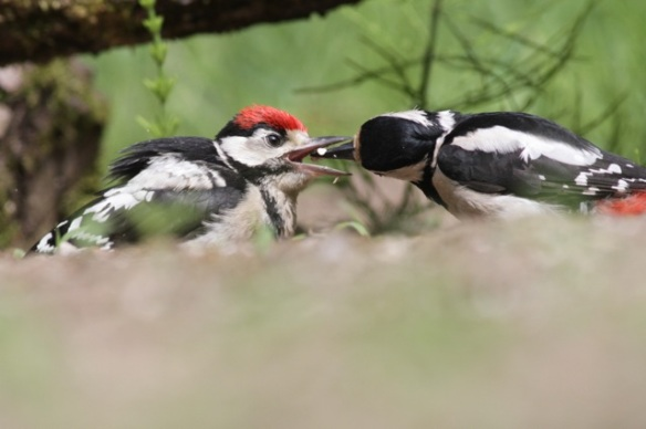 Young great spotted woodpecker being fed, 10 June 2016