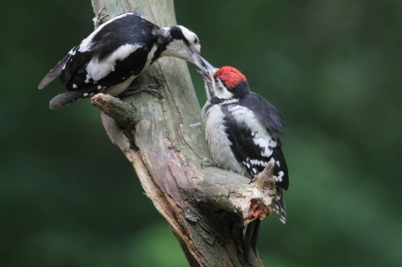 Young great spotted woodpecker fed, 10 June 2016