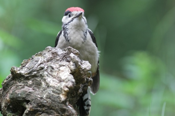 Young great spotted woodpecker near hide, 10 June 2016