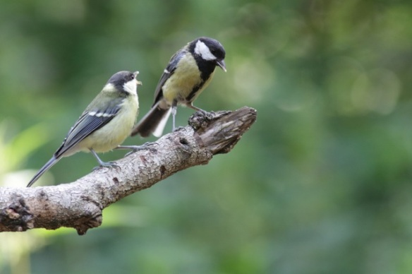 Young great tit and parent, 10 June 2016