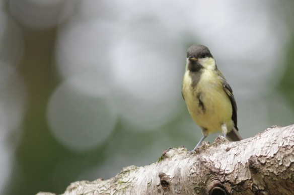 Young great tit, on 10 June 2016