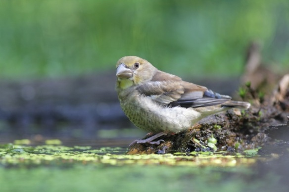 Young hawfinch, morning 10 June 2016