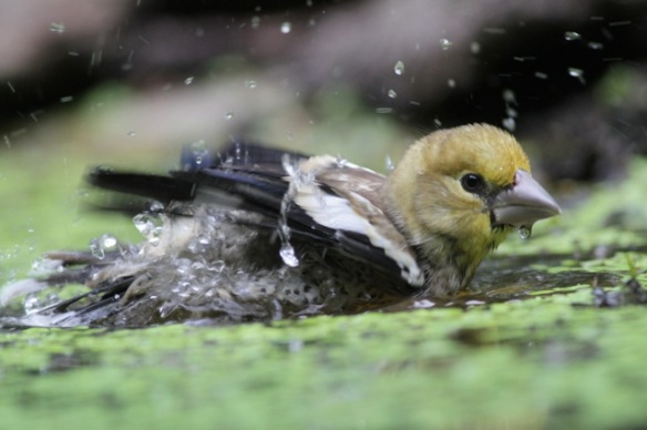 Young hawfinch splashing, afternoon 10 June 2016