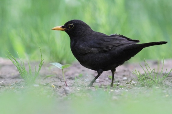 Blackbird at pond, 10 June 2016