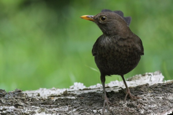 Blackbird at the pond, 10 June 2016