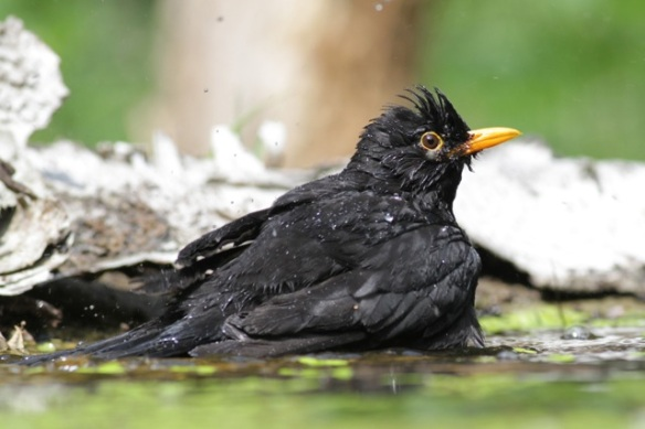 Blackbird bathing at pond, 10 June 2016