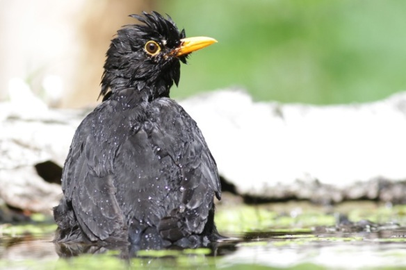 Blackbird bathing at the pond, 10 June 2016