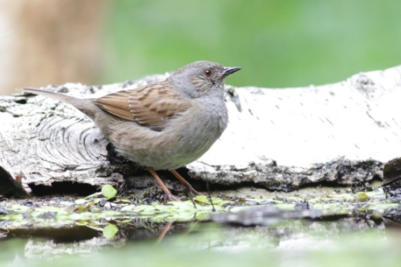 Dunnock, on 10 June 2016