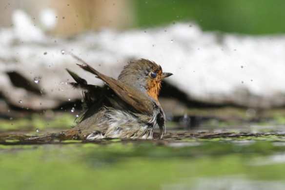 Robin bathing, 10 June 2016