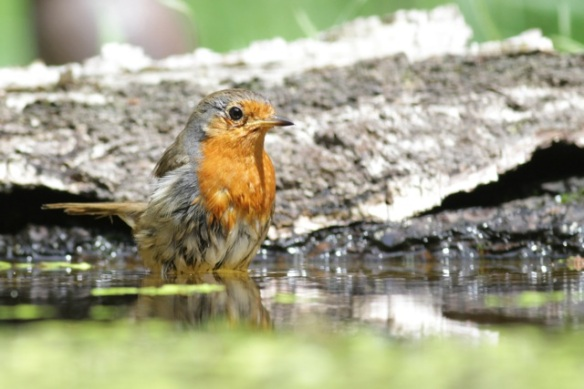 Robin bathing, on 10 June 2016