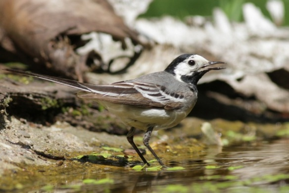 White wagtail, 10 June 2016