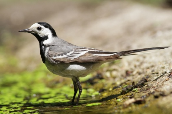 White wagtail, at pond on 10 June 2016