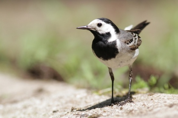 White wagtail, on 10 June 2016