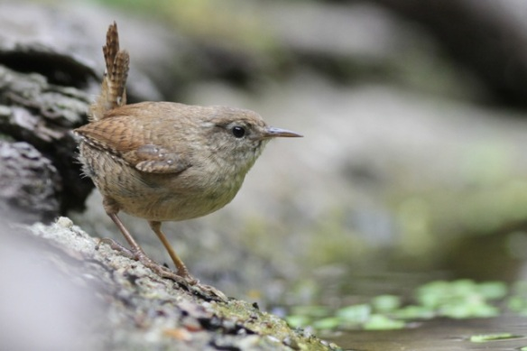 Wren, at hide, 10 June 2016