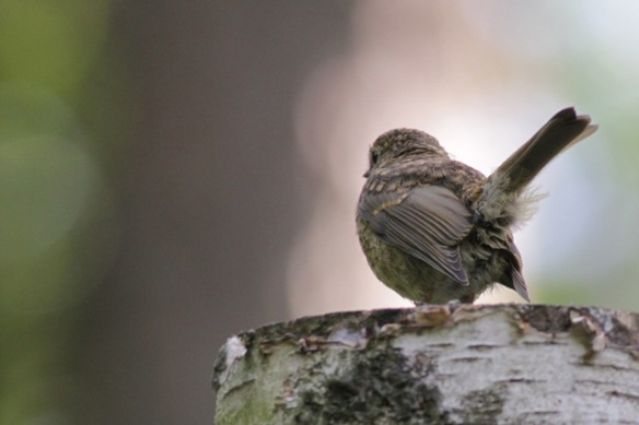 Young robin, 10 June 2016